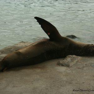 Reise Hunter Galapagos SantaCruz Seelöwe Hafen