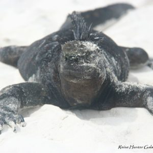 Reise Hunter Galapagos TortugaBay Iguana