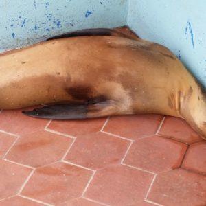 Reise Hunter Galapagos SantaCruz Seelöwe4