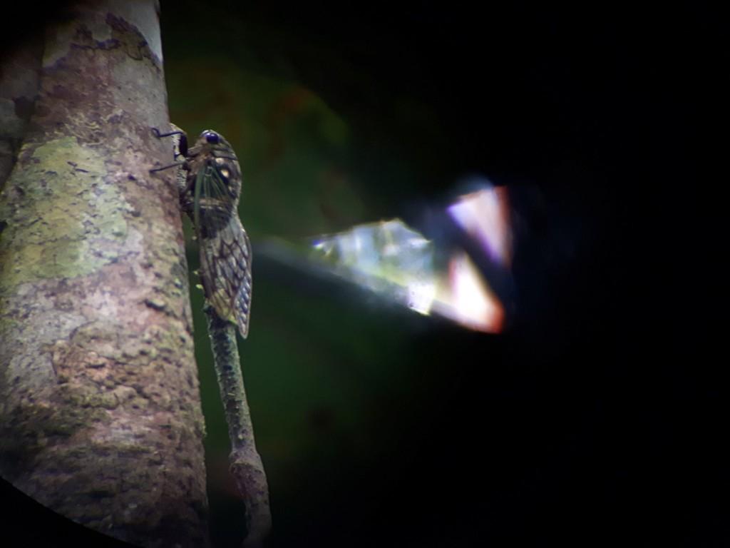 Reise Hunter Amazonas Zikade
