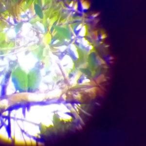 Reise Hunter Amazonas grüne Papageien2