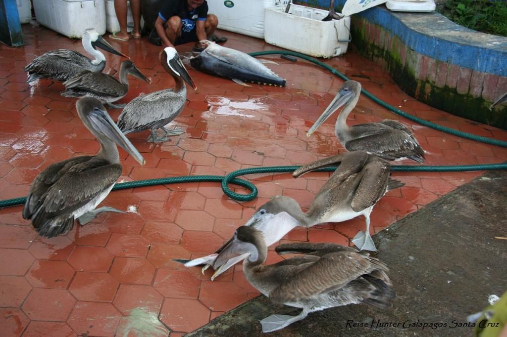Reise Hunter Galapagos SantaCruz Markt2