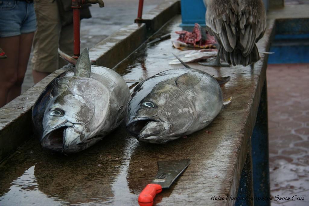 Reise Hunter Galapagos SantaCruz Markt
