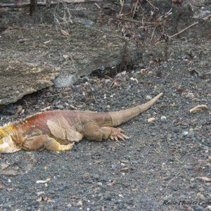 Reise Hunter Galapagos Iguana braun