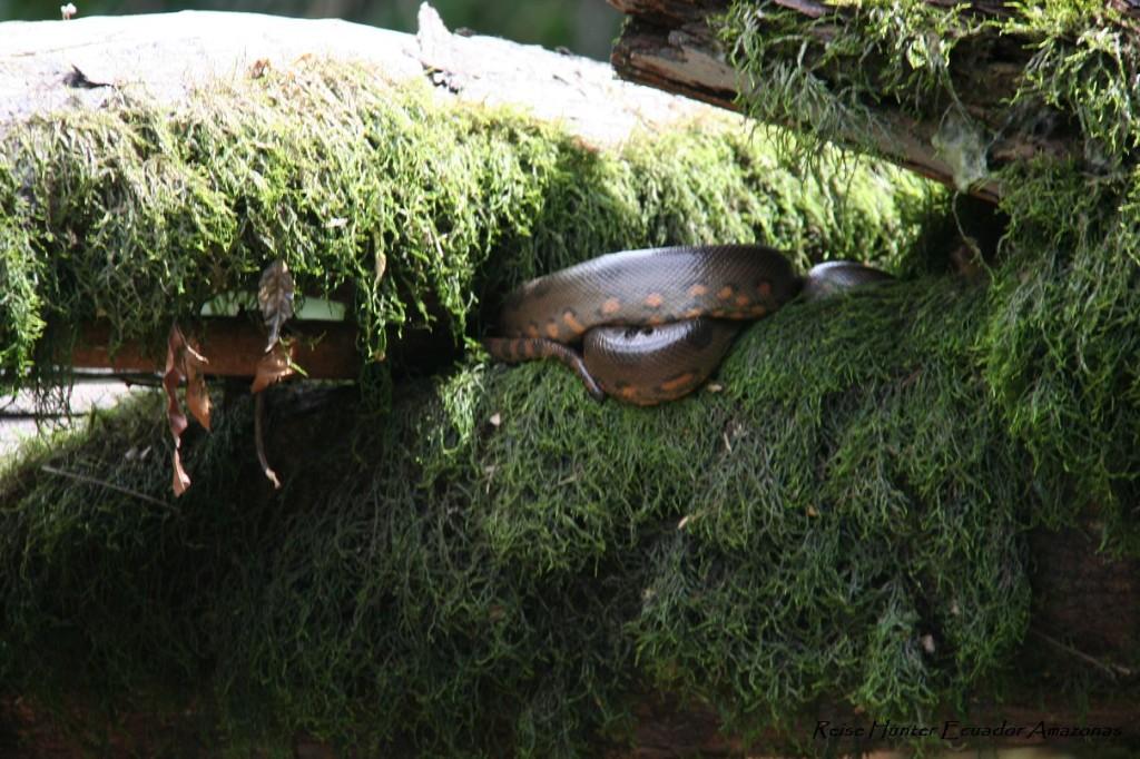 Reise Hunter Amazonas Anacondo