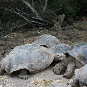 Reise Hunter Galapagos Schildkröten DarwinCenter2