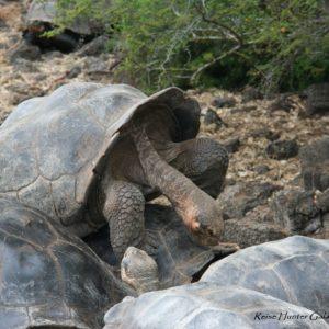 Reise Hunter Galapagos Schildkröten Paarung