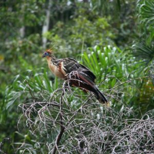 Reise Hunter Ecuador Hoatzin