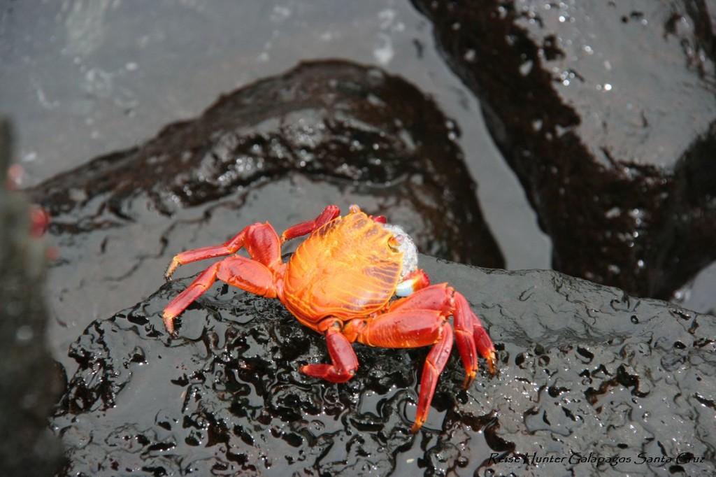 Reise Hunter Galapagos KrebsReise Hunter Galapagos Krebs