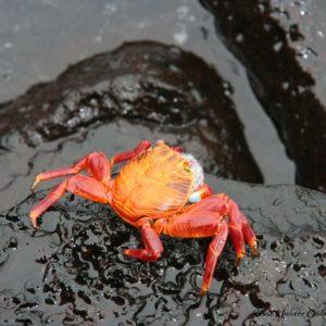 Reise Hunter Galapagos Krebs