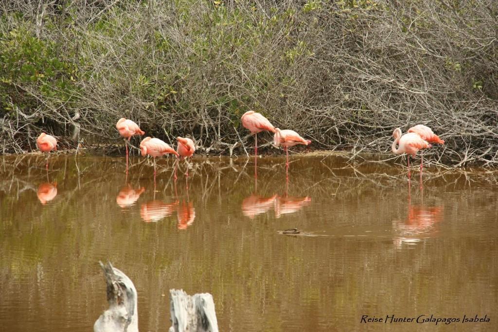 Reise Hunter Galapagos IsabelaFlamingos