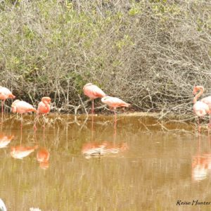 Reise Hunter Galapagos Islabela Flamingos4