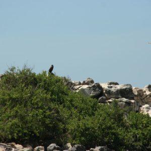 Reise Hunter Galapagos Falke