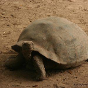 Reise Hunter Galapagos Islabela Schildkröten5