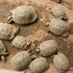 Reise Hunter Galapagos Islabela Schildkröten4