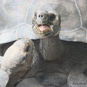 Reise Hunter Galapagos IsabelaSchildkröten