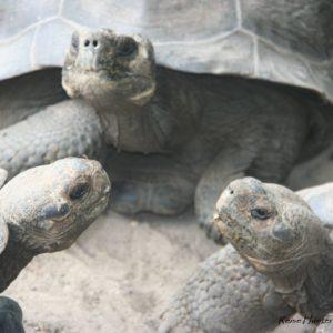 Reise Hunter Galapagos Islabela Schildkröten3