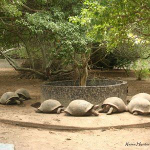 Reise Hunter Galapagos Islabela Schildkröten2