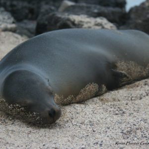 Reise Hunter Galapagos Santa Cruz Seelöwe