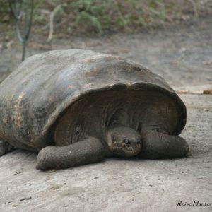 Reise Hunter Galapagos Isabela Schildkröten7