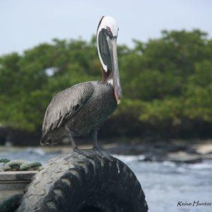 Reise Hunter Galapagos Pelikan3
