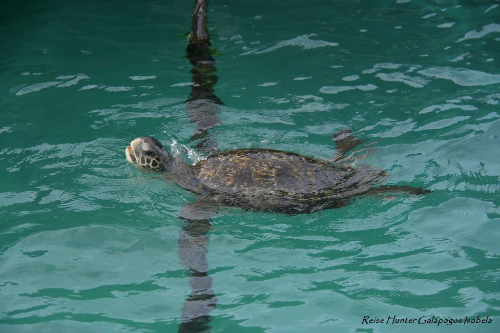 Reise Hunter Galapagos Meeresschildkröte