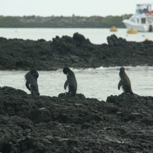 Reise Hunter Galapagos Pinguine4