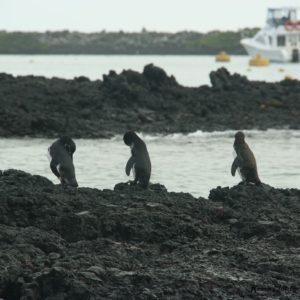 Reise Hunter Galapagos Pinguine4