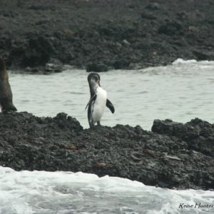 Reise Hunter Galapagos Pinguine6