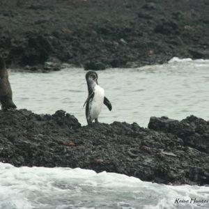 Reise Hunter Galapagos Pinguine6
