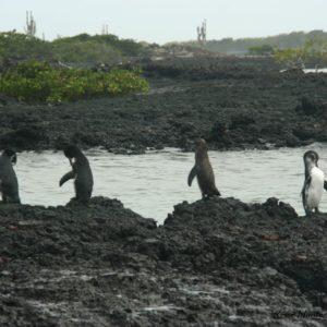 Reise Hunter Galapagos Pinguine5
