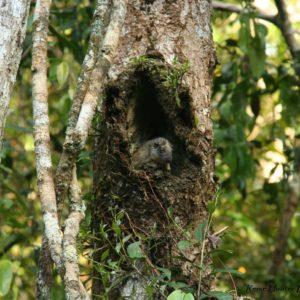 Reise Hunter Amazonas BaumRatte