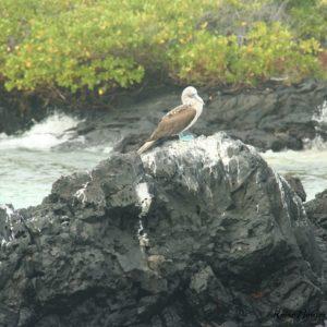 Reise Hunter Galapagos Blaufusstölpel