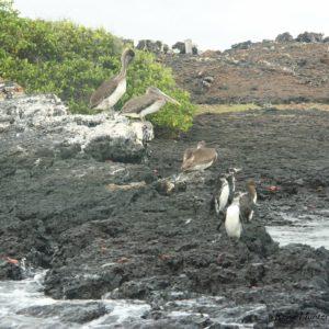 Reise Hunter Galapagos Pelikane u Pinguine