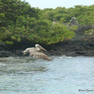 Reise Hunter Galapagos Pelikan fliegt