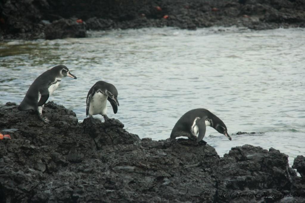Reise Hunter Galapagos Pinguine