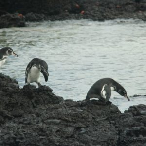 Reise Hunter Galapagos Pinguine
