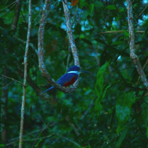 Reise Hunter Amazonas Kingfisher