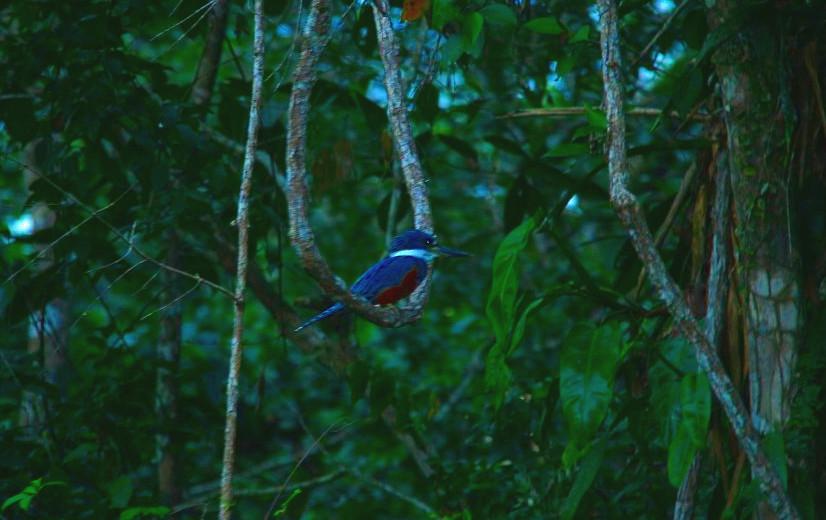 Reise Hunter Amazonas Kingfisher