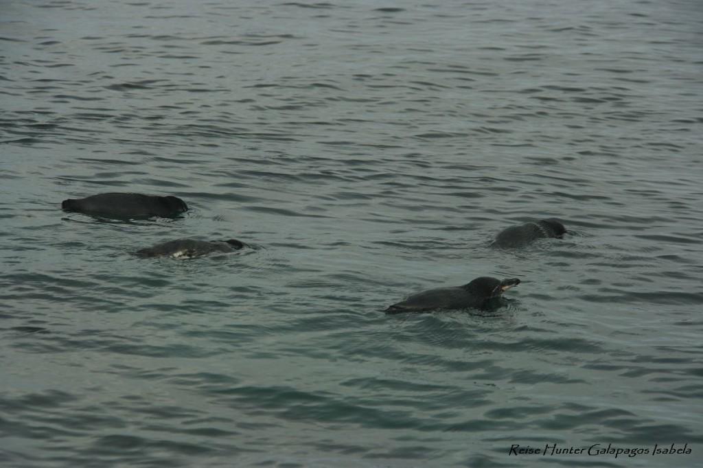 Reise Hunter Galapagos Pinguine schwimmen