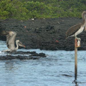 Reise Hunter Galapagos Pelikane