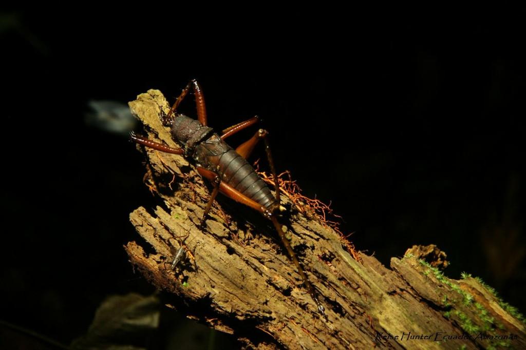 Reise Hunter AmazonasLanguste