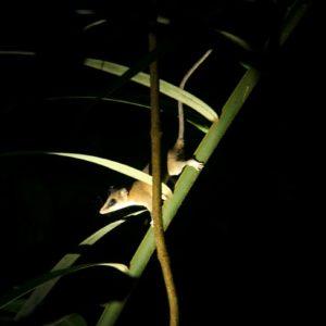 Reise Hunter Amazonas Opossum