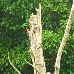 Reise Hunter Amazonas Specht
