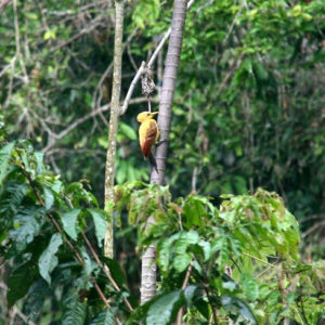 Reise Hunter Amazonas gelberSpecht