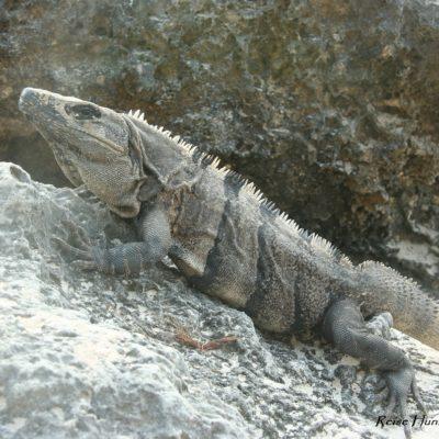Reise Hunter Mexiko Tulum Echse