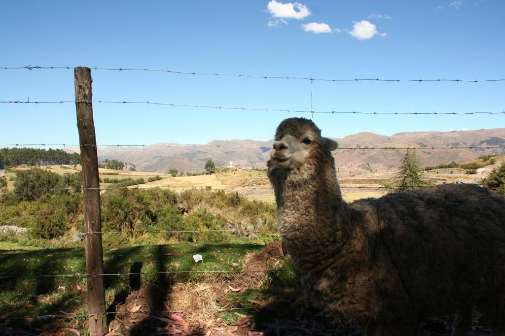Reise Hunter Cusco Alpaka am Weg