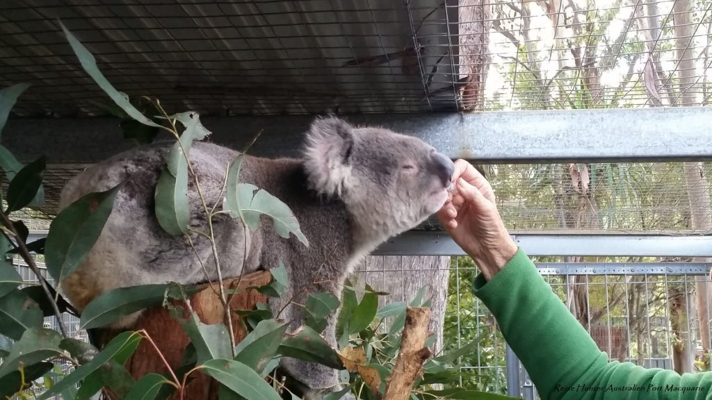 Reise Hunter Australien Port Macquarie Koala Fütterung