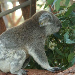Reise Hunter Australien Port Macquarie Koala Hospital6