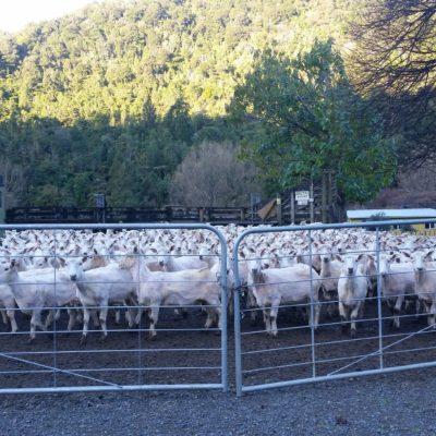 Reise Hunter Neuseeland Nordinsel geschorene Schafe